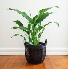 peace lily peace lily in mesh basket plant and pot nz