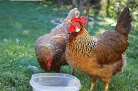 Backyard Chicken Blogs by Pam U0027s Backyard Chickens September 2014