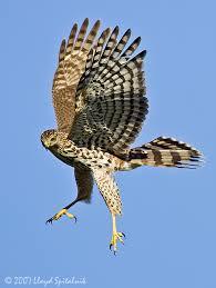 cooper u0027s hawks capture birds feet kill