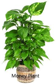 plants that don t need sunlight to grow 10 best plants that grows in shade without sunlight at home home