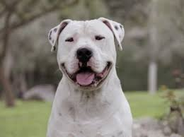 american pitbull terrier yavru 9 best dog breeds images on pinterest dog breeds awesome dogs