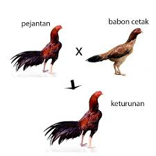 mengenal ayam birma dan karakternya