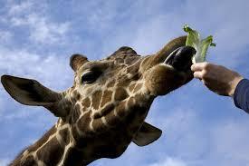 giraffe zoo atlanta