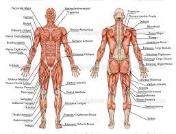 Anatomy Human Abdomen Human Anatomy Back Muscles Image Collections Learn Human Anatomy