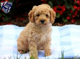 puppies for sale pa 51 best cavapo puppies for sale images on friends
