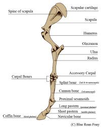 Dog Anatomy Front Leg Horse Front Leg Anatomy Human Anatomy Body