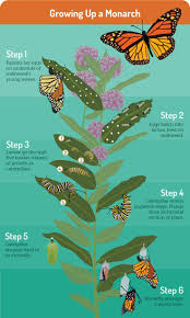best 20 monarch caterpillar ideas on pinterest monarch