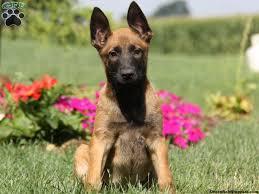 belgian shepherd short hair belgian malinois puppies for sale greenfield puppies