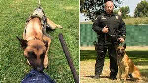 belgian shepherd seattle officers grief stricken after police dog killed in standoff nbc