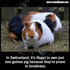 Shaved Guinea Pig Meme - 26 best guinea pigs memes images on pinterest guinea pigs pig