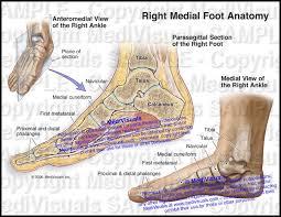 Anatomy Of The Calcaneus Right Foot Anatomy