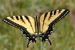 the tiger swallowtail black and pale yellow with black
