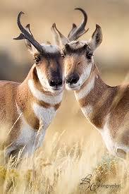 Wyoming wild animals images _h1h2545 edit edit edit edit jpg horn animal and wild animals jpg