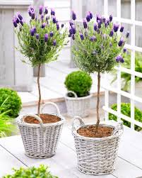 deal pair of beautiful 100cm lavender trees with baskets