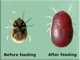 Do Bed Bugs Get On Dogs The Difference Between Bed Bugs And Ticks Ipm In The South