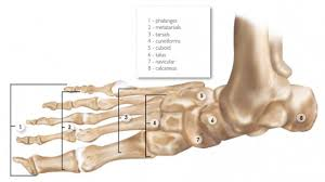 Anatomy Of The Calcaneus Anatomy And Function Of The Foot And Ankle Sporting Life Arkansas