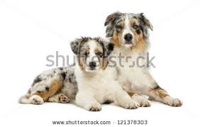 7 month old australian shepherd puppy australian shepherd puppy stock images royalty free images