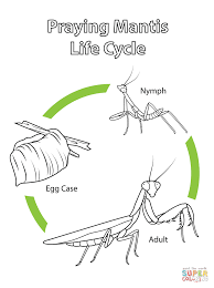 life cycle of praying mantis coloring page free printable