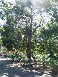 sydney native plants black bean aboriginal use of native plants