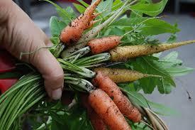 Green Root Vegetables - root vegetables u2013 the garden produce