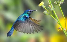 humming birds wallpapers and backgrounds hummingbird wallpaper