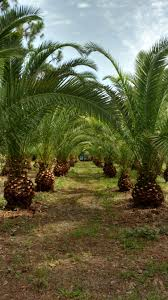 sylvester date palm tree sylvester palm hardy palm tree farm