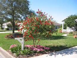 the best shrubs to turn into u0027trees u0027 bottlebrush shown above
