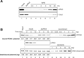 mutsα maintains the mismatch repair capability by inhibiting pcna