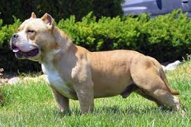 american pitbull terrier for sale in ohio muscletone bullys american bullys kennel bully puppies for sale