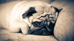 Sad Pug Meme - pin by sasha p on animals pinterest pug wallpaper pug meme and