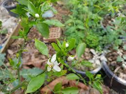 australian native edible plants forum dekopon in australia