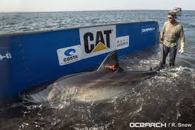 katherine the 2 300 pound great white shark spotted off virginia