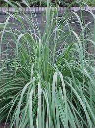 types of ornamental grass 25 trending ornamental plants ideas on