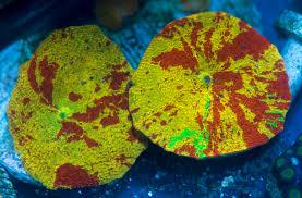 where to buy jawbreakers illinois tye dye jawbreakers babies for sale reef2reef