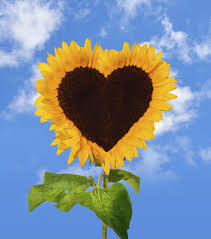 sunflower pictures think of your heart as a sunflower recent spiritual practices of