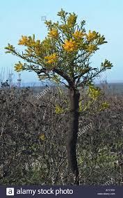 western australian christmas tree nuytsia floribunda flowers