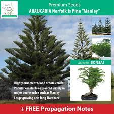araucaria norfolk island pine u201dmanley