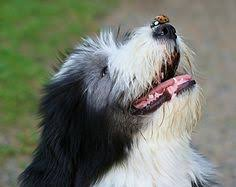 bearded collie x terrier so handsome beardies pinterest bearded collie collie and