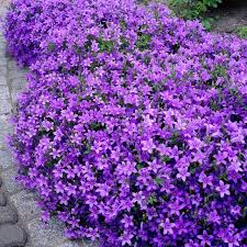 18 best flowering ground cover plants dalmatian perennials and dips
