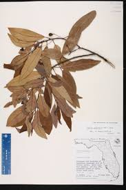definition of native plants persea palustris species page isb atlas of florida plants