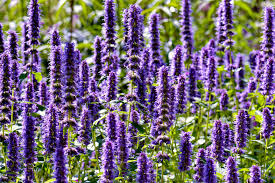 Most Fragrant Lavender Plants Heirloom Flowers With Great Scent