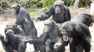 new york blood center abandons chimpanzee colony in liberia our