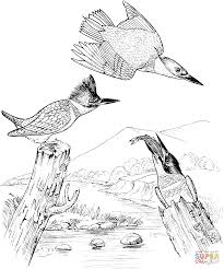 kingfisher coloring pages free coloring pages