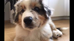 australian shepherd 1 year old storm the australian shepherd puppy 3 months youtube