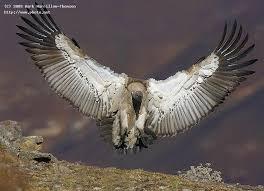 Seeking Vulture Cape Vulture Landing