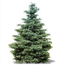 real christmas tree types of real christmas trees the home depot