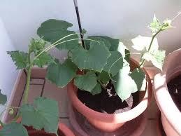 basilico in vaso malattie macchie bianche su foglie di basilico e pomodoro orticoltura 3