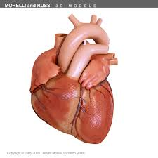 Gross Anatomy Of The Human Heart Human Heart 3d Model