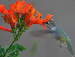 hummingbird flowers hummingbird flowers hummingbird garden plants