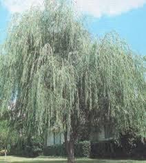 wisconsin weeping willow grimm s gardens
